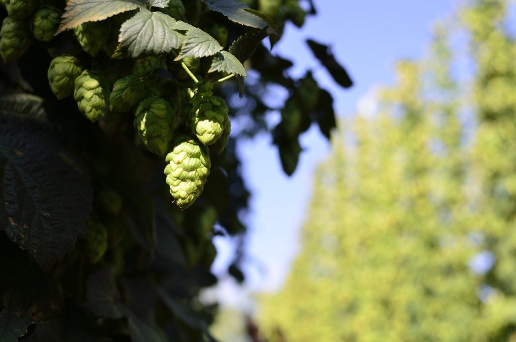 Orbigo Valley Hops. Property of Iván Sánchez Criado. Please do not use without permission.
